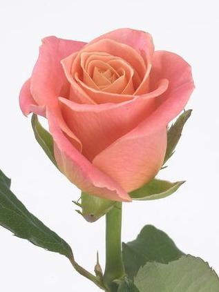 Nádherné růžové růže - Fiorita - Vaše květinářství v Praze